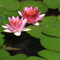 lotus-flowers-copy