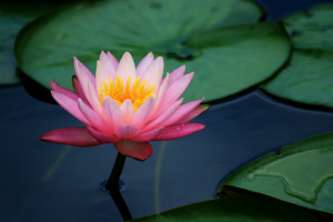 Tonglen: lily pads and lotus flower