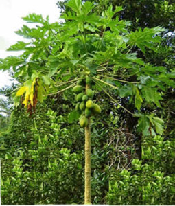 Papaya Tree