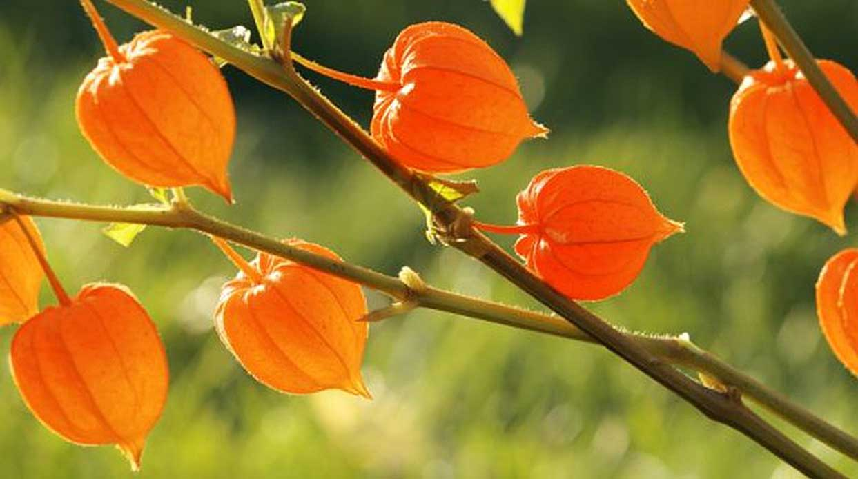 Ashwagandha - Ayurveda's Immunity Boosting, Anti-Aging, Stress-Fighting Herb