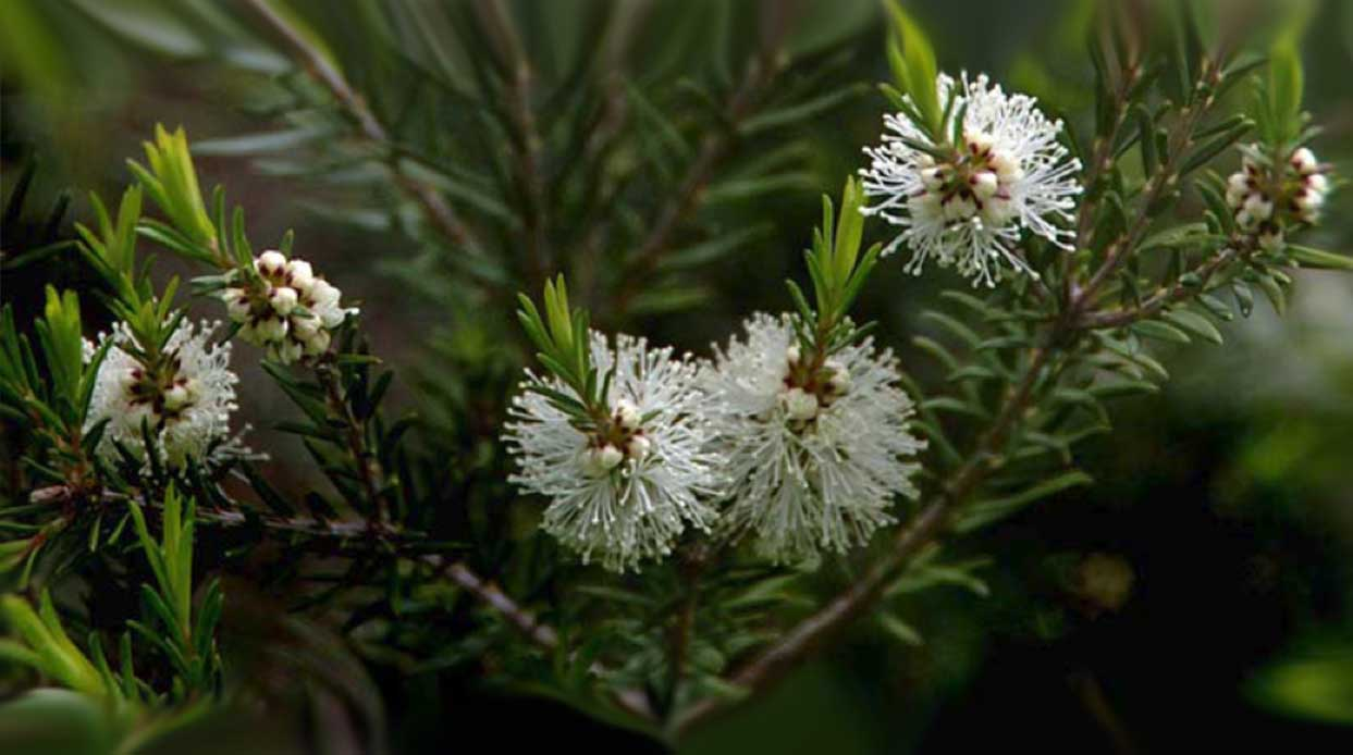 Lucky 7 Ayurvedic Benefits and Uses for Tea Tree Oil